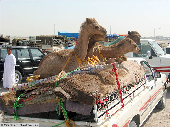United Arab Emirates: Dubai: Transporting young camels