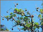 Flying foxes in the Domain