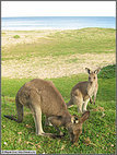 Seaside kangaroos