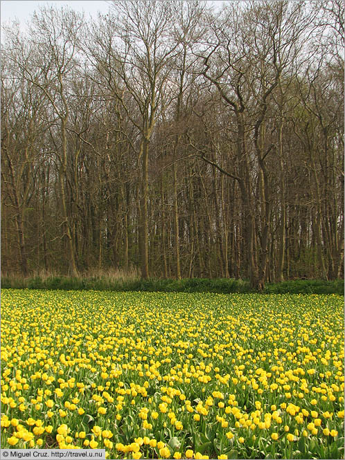 Netherlands: North Holland: Tulips and trees